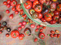 Basket of fresh tomatoes, many varieties. Royalty Free Stock Photography