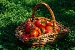 Basket with fresh tomatoes Stock Image