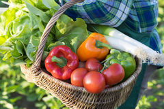 A basket of  fresh vegetables in the arms of a woman Royalty Free Stock Photo