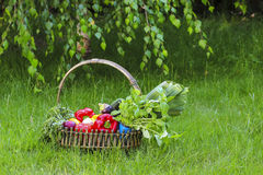 Basket of fresh vegetables in the garden. Royalty Free Stock Images