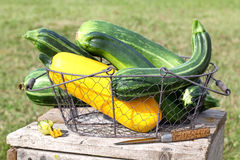 Basket with fresh courgette (zucchini)  Royalty Free Stock Image