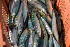 A basket of freshly-caught jackfish. Fresh fish for sale at port elizabeth, bequia Stock Photos
