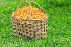 Basket of freshly cut chanterelle mushrooms Royalty Free Stock Photos