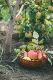 Basket with freshly picked apples in the Apple orchard. Stock Photography