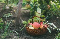 Basket with freshly picked apples. Royalty Free Stock Photo