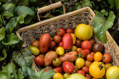 Basket of freshly picked colorful organic baby tomatoes Royalty Free Stock Images