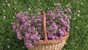 Basket of freshly picked oregano in wicker basket stock video footage