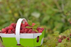 Basket of freshly picked raspberries Royalty Free Stock Photography