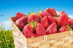 Basket of freshly picked strawberries Royalty Free Stock Image