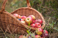Basket with fruit on a green grass Royalty Free Stock Image