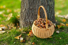 A basket full of acorns for crafting and playing Stock Photos