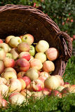 Basket full of Apple. Some Apples in a Basket lying outdoors in front of some Apple Trees in Autumn Royalty Free Stock Photo