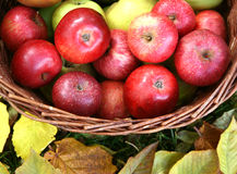 Basket full of apples. Red apples in an old basket in the autumn garden Stock Photo