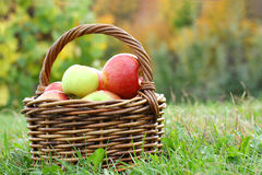 Basket Full of Apples at Orchard Royalty Free Stock Photography