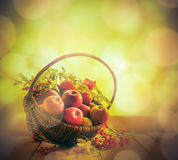 A basket full apples rowan sunset Royalty Free Stock Photo
