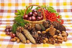Basket full of autumn acorns, cones and chestnuts Royalty Free Stock Image