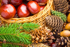 Basket full of autumn acorns, cones and chestnuts Royalty Free Stock Photos