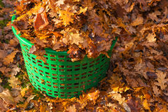 Basket full of autumn leaves Royalty Free Stock Images