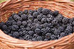 Basket full of blackberries Stock Image