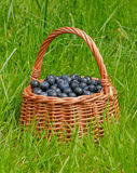 Basket full of blueberries. On a green grass background Royalty Free Stock Image