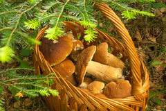 Basket full of boletus Stock Photo