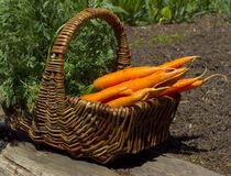 Basket full of carrots Stock Photos
