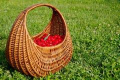 Basket full of cherries. Basket full of freshly harvested cherries Royalty Free Stock Image