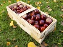 Basket full of chestnuts. In the garden stock image