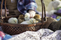 Basket full of chicks. Little chicks hatched just in time for Easter Stock Image