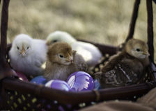 Basket full of chicks. Little chicks hatched just in time for Easter Stock Photo