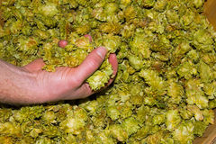 Basket full of Chinook leaf hops Royalty Free Stock Photography