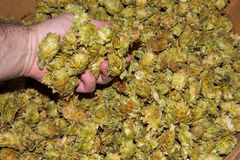 Basket full of Chinook leaf hops Stock Photography