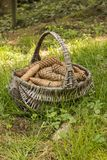 Basket full of cones. Bustket full of cones on grass royalty free stock photos