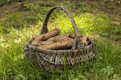 Basket full of cones. Bustket full of cones on the grass royalty free stock photos