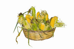 Basket full of corn cobs Royalty Free Stock Photo