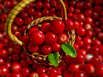 Basket Full of Cowberries. A tiny basket full of fresh cowberries Stock Photos