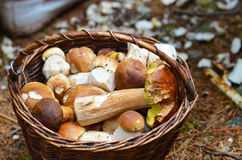 Basket full of different mushrooms Royalty Free Stock Images