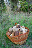 Basket full of edible mushrooms Stock Image