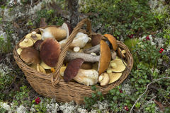 Basket Full of Edible Mushrooms in the Forest Royalty Free Stock Photos