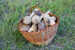 Basket full of edible mushrooms Royalty Free Stock Image