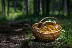 Basket full with forest mushrooms; Cantharellus cibarius, Boletus edulis, and other edible ones. Chanterelle is the royalty free stock image