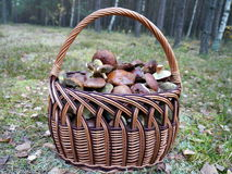 Basket full of forest mushrooms. A picture of a forest mushrooms in the basket, Western Poland Stock Images