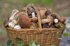 Basket, full of fresh autumn mushrooms. Royalty Free Stock Photo