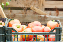 Basket full of fresh harvested tomatoes Stock Photos