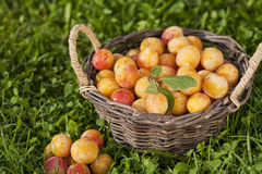Basket full of fresh mirabelle plums Stock Photo