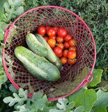 Basket full of fresh picked vegetables Royalty Free Stock Photography