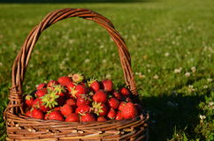 Basket full of fresh red ripe strawberries on green grass Stock Photography