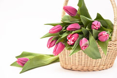 Basket full of fresh tulip Royalty Free Stock Image