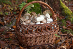 Basket full of freshly picked mushrooms Stock Photos
