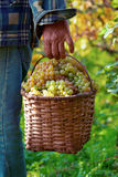 Basket full of grapes Royalty Free Stock Images
